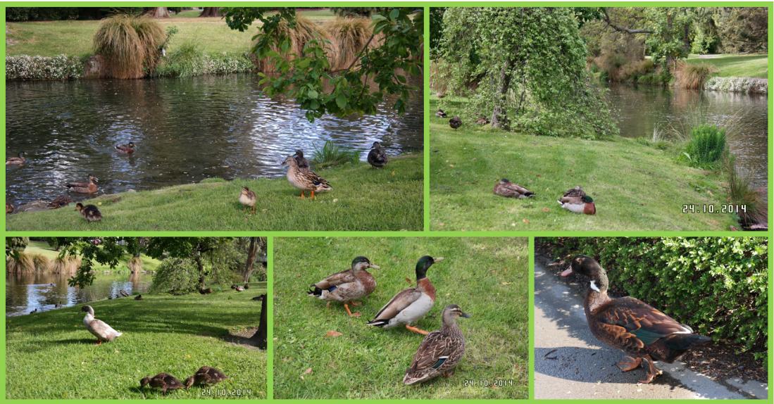 CHC ducks